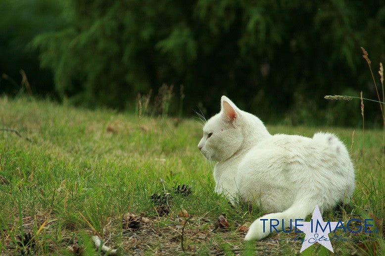 White cat on the lawn 2 - Stockholm, Sweden