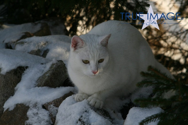 White cat in snow - Stockholm, Sweden