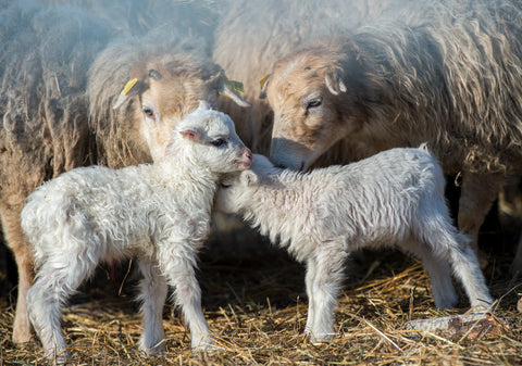 Two newborn lambs of ancient Skudden sheep breed in ForestSheep farm