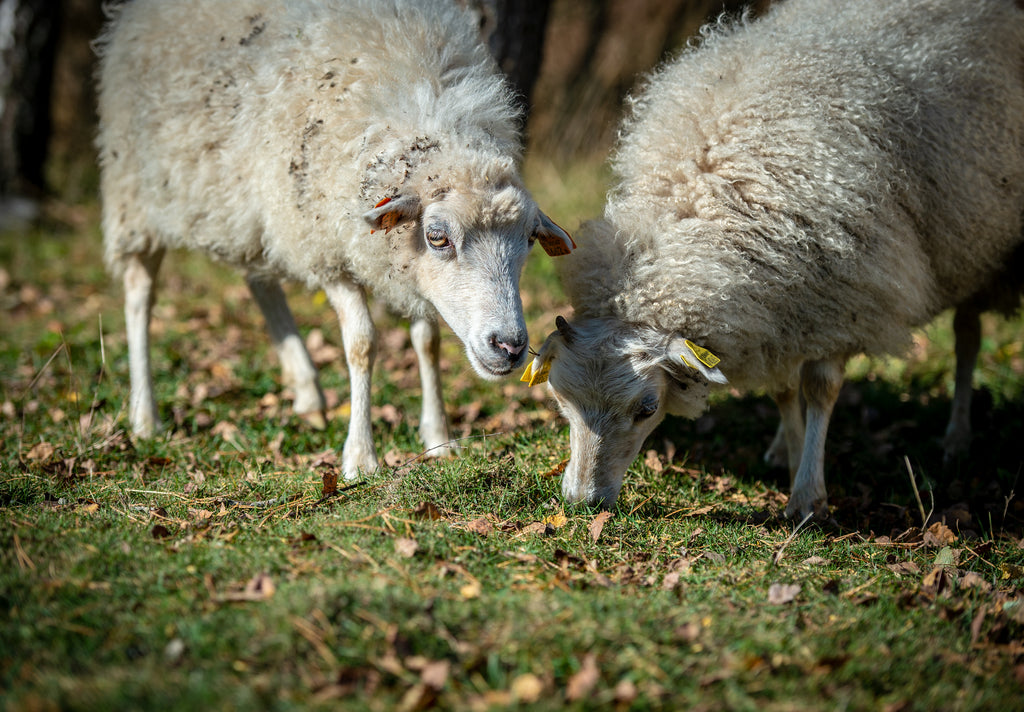 A free wandering sheep eating grass in a farmstead