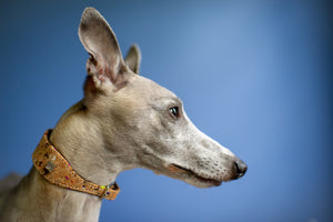 Whippet portrait, wearing Dogs&Horses, Limited Edition Cork and Leather dog collar