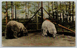 Toledo Ohio~Walbridge Park Zoo Animals~Grubby Polar Bears in Cage~c1910 Postcard