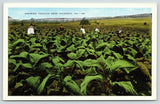 Valdosta GA~Farmers & Workers in Bright Leaf Cigarette Tobacco Field~1940s Linen