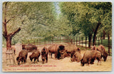 Chicago Illinois~Lincoln Park Zoo~Herd of Buffalo Nosing in the Dirt~Bison~1912