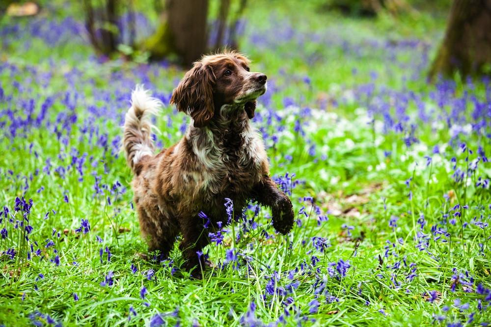 Canine Partners 'Big Bluebell Walks' this May