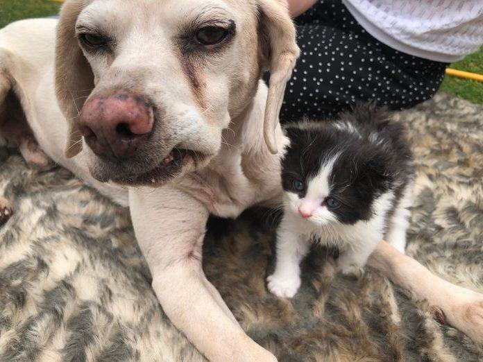 Rescue Beagle helped raise motherless kitten during lockdown