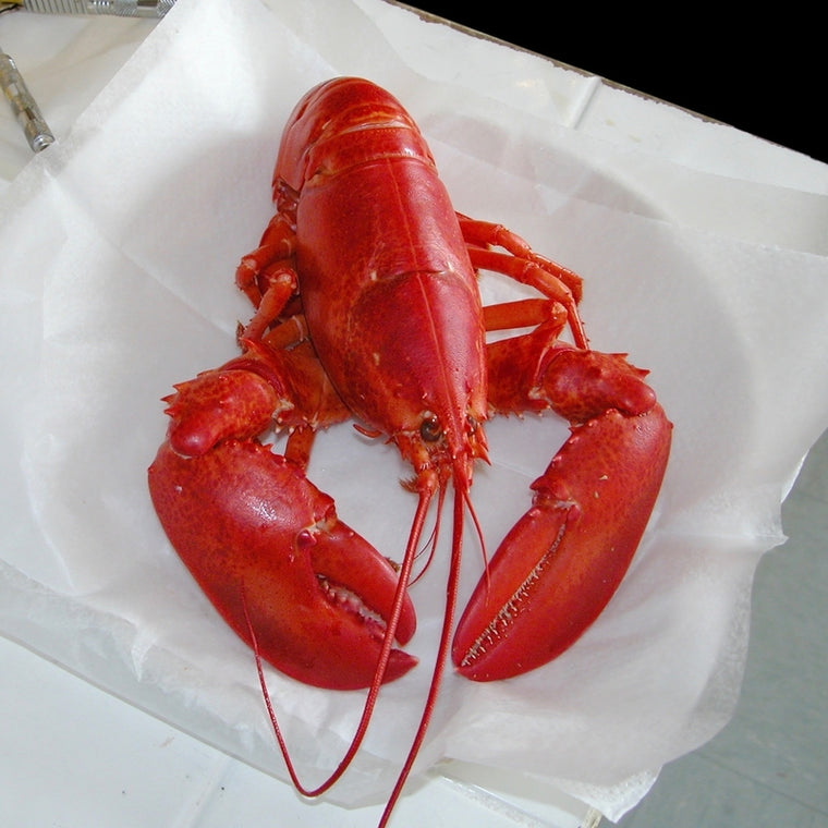 1.5 lb Live Maine Lobster