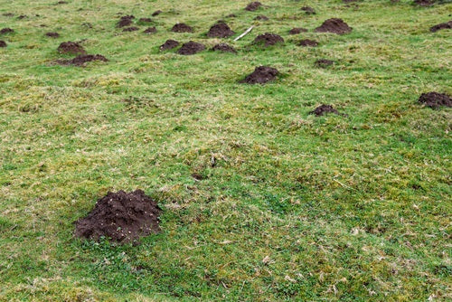 Managing Burrowing Rodents in Pastures