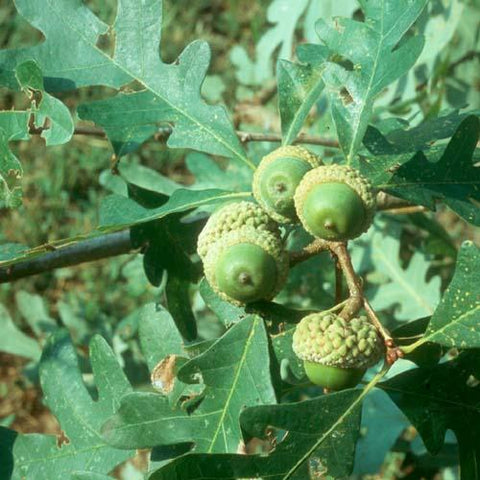 Oak trees are poisonous to horses and other livestock.