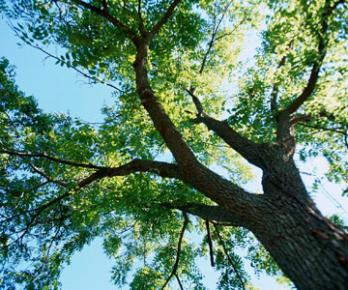 Black Walnut trees can cause severe laminitis or founder in horses who are exposed to the tree.