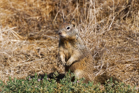 burrowing rodents in pastures