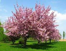 Cherry and Plum trees are highly toxic to horses, producing cyanide.
