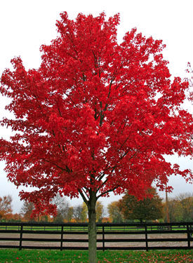 Red Maple or Scarlet Maple trees are toxic to horses.