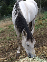 Sophie the rescued Andalusian mare, survived a decade of abuse for a Mexican Horse Dancing outfit.