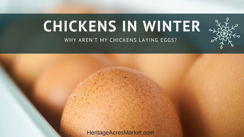 Chickens in Winter: Why aren't my chickens laying eggs?