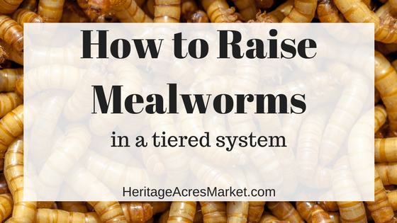 Raising Mealworms in a Tiered System- with Infographic
