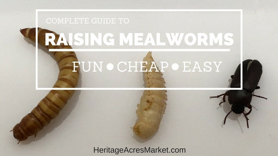 Sustainability Project: Raising your own Mealworms
