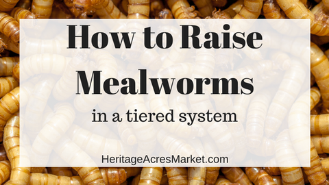Raising Mealworms in a Tiered System