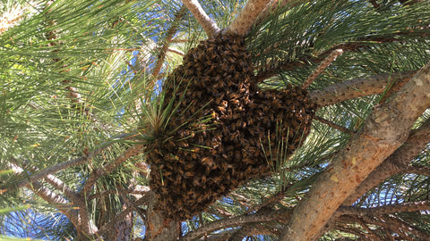 Swarm from Beulah, Colorado