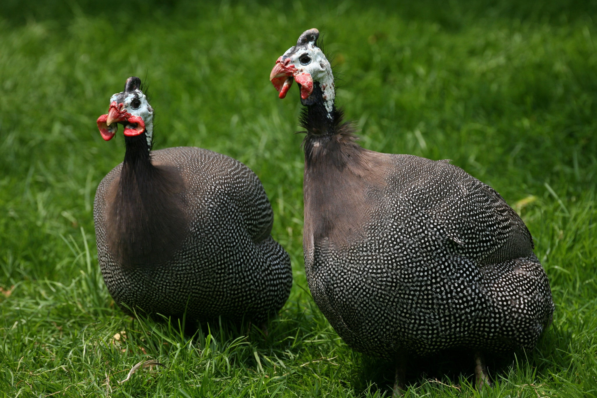 French Guinea Fowl - Heritage Acres Market LLC