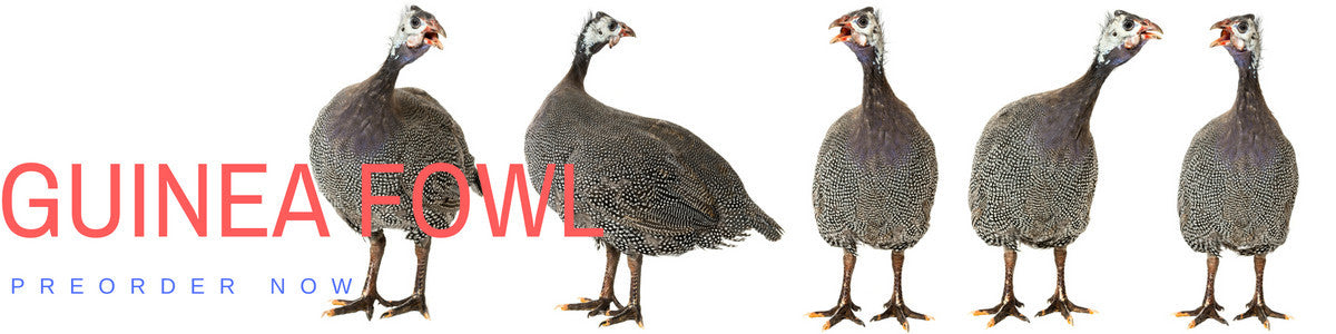 Preorder your Guinea Fowl today!