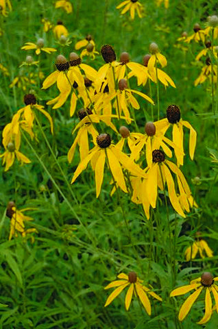 Ratibida pinnata (Green-Headed Coneflower)