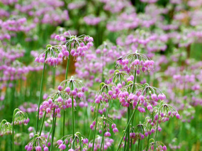 Allium cernuum  (Nodding Onion) Allium cernuum, Nodding Onion, produces nodding clusters of downward facing pink umbels and sword-like foliage, a striking addition to a naturalizing garden.