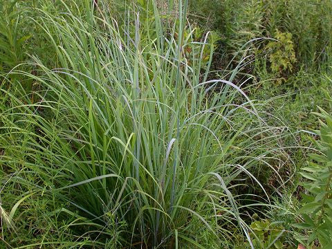 Andropogon gerardii (Big Bluestem)