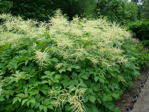 Aruncus dioicus (Goatsbeard) is a robust butterfly attractant, sporting large creamy plumes and serving as a host plant for the Dusky Azure butterfly.