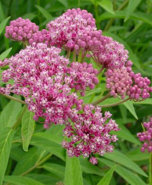 Asclepias incarnata (Swamp milkweed) is tolerant of well-drained soils, very attractive to butterflies, and a nice cut flower.