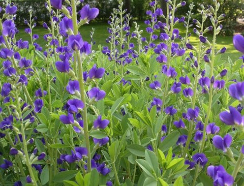 Baptisia australis (Blue Wild Indigo) is a garden beauty with long-lasting violet spikes with high value to pollinators.  Cherokee used for blue dye.  Some toxicity if ingested-tastes badly.