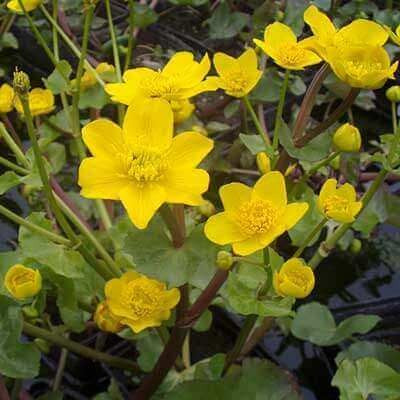 Caltha palustris (Marsh Marigold)