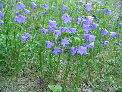 Campanula rotundifolia (Bluebell Bellflower) is a diminutive sweet low-growing wildflower that is not quite aggressive enough to serve as a weed-suppressing ground cover, but nice to add to your lawn or pollinator garden in masse.