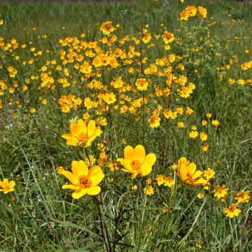 Coreopsis lanceolata (Lanceleaf Coreopsis) is a garden favorite available in many cultivars, but for the pollinators likely best to stick with the true native for most attraction and this will reseed freely to make up for the short-life tendency; hence best for naturalizing.