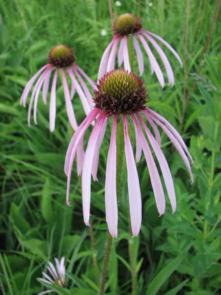 Echinacea pallida, Pale Purple Coneflower, bears striking narrow drooping petals of long-lasting flowers, that will reseed if allowed.