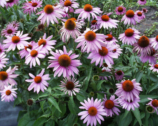 Echinacea purpurea (Purple Coneflower) is well-known and loved, with a long-blooming season, a bit short-lived, but so nice, worth replanting every so many years
