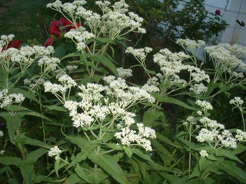 Eupatorium perfoliatum (Boneset) may look like like a roadside weed to us, but the bees, butterflies and birds it brings will be worth it!