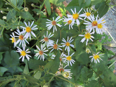 Eurybia macrophylla   (Big Leaf Aster) is a wild aster with large fuzzy leaves nick-named Lumberjack Toilet Paper, forming a dense ground cover in rich woods.  Host to the Pearl Crescent
