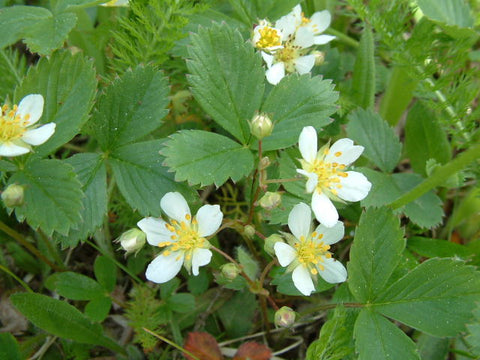 Fragaria virginiana (Wild Strawberry).  Finding a wild strawberry is such a treat and the plant will spread through runners throughout your pollinator garden and serve as a very suitable ground cover.