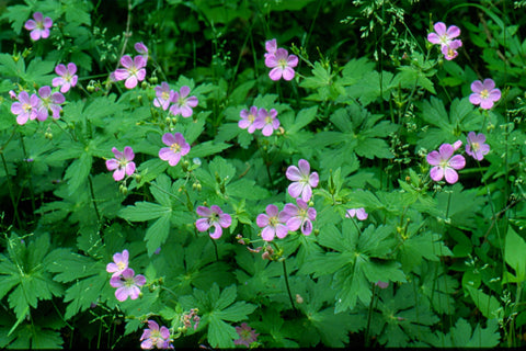 Geranium maculatum   (Cranesbill). Special value to bees/bumblebees and attracts butterflies. Will naturalize, aggressively self-seeding if happy.