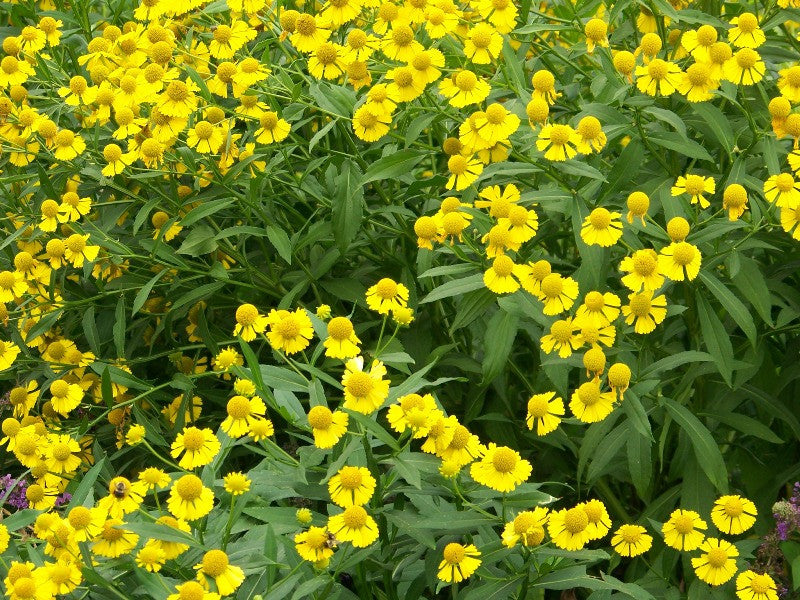 Helenium autumnale  (Sneezeweed) is a clump forming large, statuesque perennial attractive to bees and butterflies.  Late valuable flowers for pollinators.  May need staking.