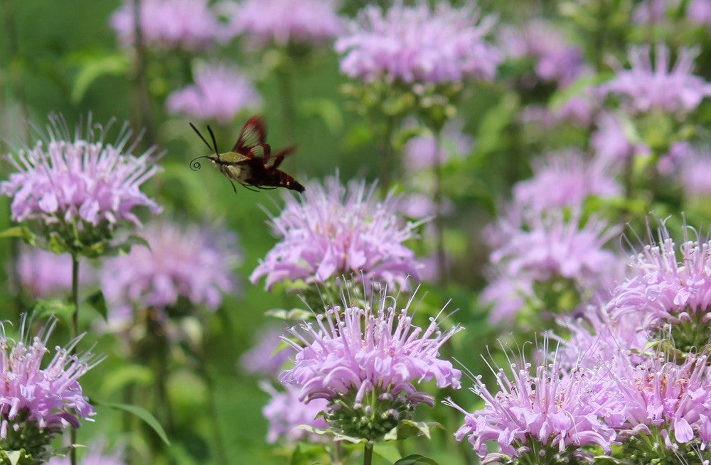 Monarda fistulosa (Wild Bergamot) is a long-lasting butterfly-ladened wildflower of very high pollinator value with plentiful flowers and aromatic foliage.
