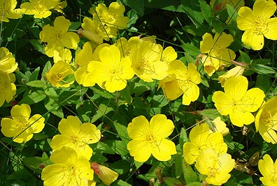 Oenothera pilosella (Meadow Evening Primrose)