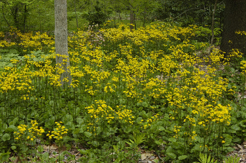 Packera aurea (Golden Groundsel), a great ground cover for pollinator gardens