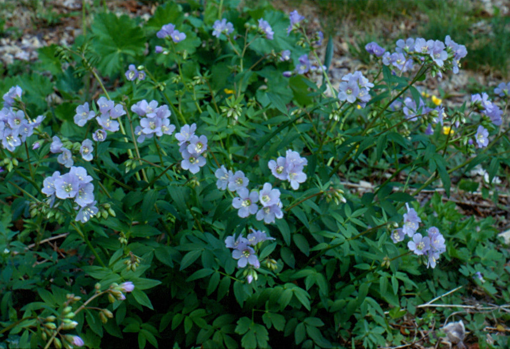 Polemonium reptans (Jacob's Ladder) as ground cover in pollinator gardens.