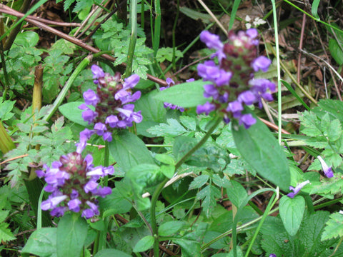 Prunella vulgaris (Self Heal) has a long history as serving as a medicinal herb, but is also beautiful in the garden and attractive to pollinators.  It does spread some via roots, making it an amazing ground cover in a pollinator garden.