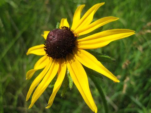 Rudbeckia hirta (Black-Eyed Susan) is a beloved short-lived but showy long-flowering perennial that readily reseeds.