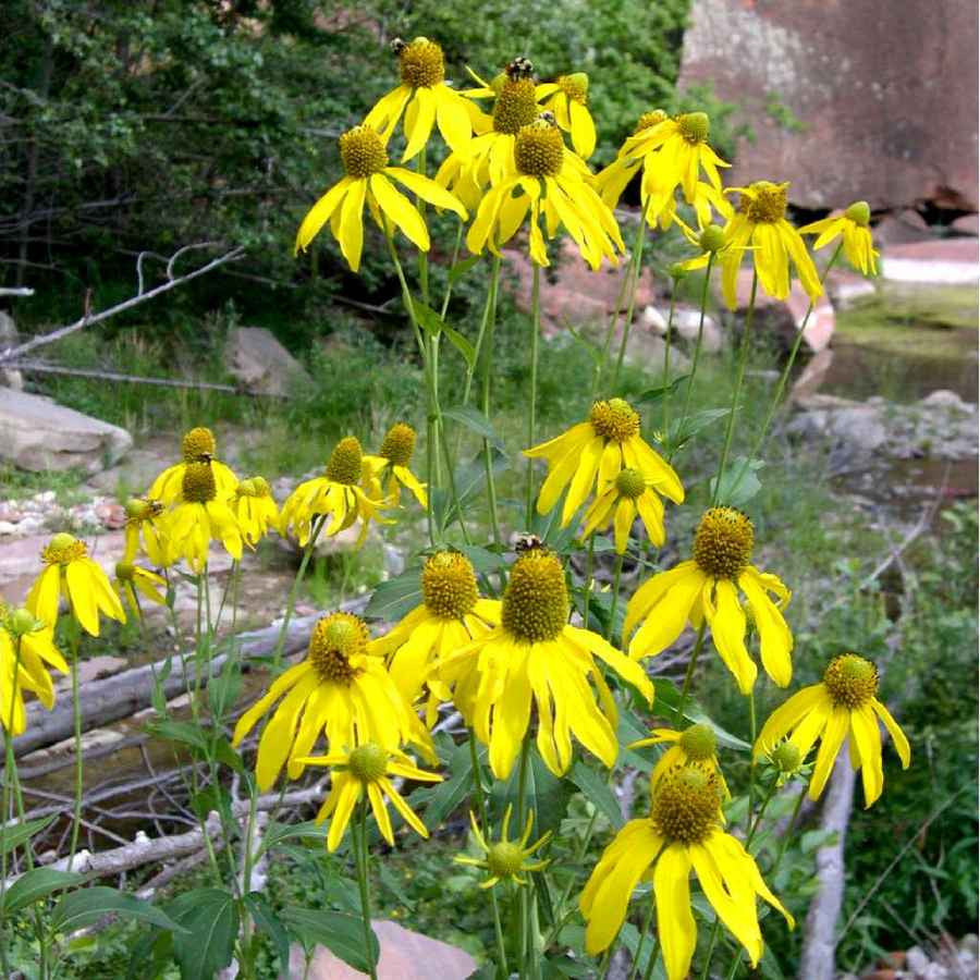 In the wild Rudbeckia laciniata (Green-Headed Coneflower) can get quite tall but in the garden setting, tends to maintain 3'-4'.  Nice for late flowering in a naturalizing garden setting.