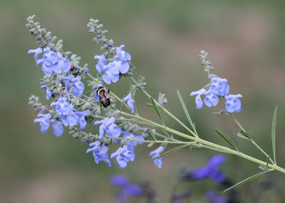 Salvia azurea  (Blue Sage) is a beautiful blue flowering sage, though watch the hardiness zone(!).  Bloom time can be extended by removing spent blooms if plants in moist soil.