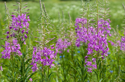Chamerion angustifolium (Fireweed) is an aggressive naturalizing roadside plant, one of first to establish on damp, freshly disturbed or burned sites, to form a stunning mass.